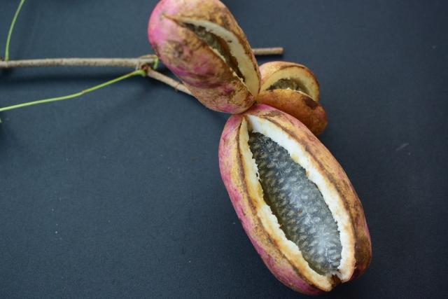 アケビ科ミツバアケビの茎から抽出したエキス。表皮細胞による天然保湿因子の一つである尿素の産生を促進し、肌の内側から保湿性を保ちます。