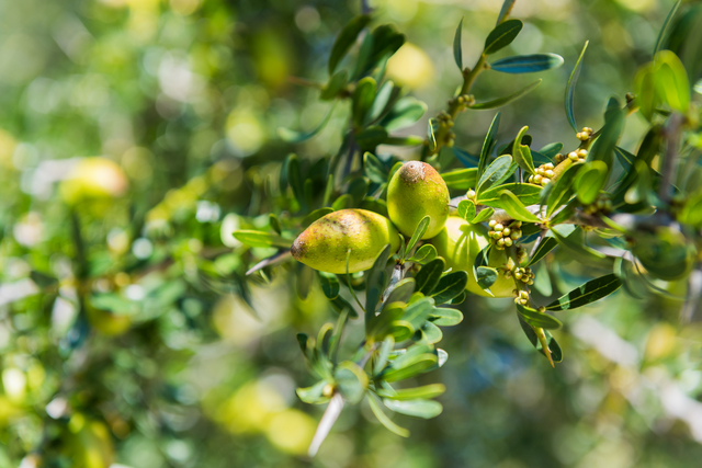 アルガンオイルです。モロッコ原産で、アルガンの木1本から1リットルしか採れないオイル。オレイン酸・リノール酸リッチで、ビタミンAやセサミンなども含みます。抗酸化作用やしっとりリッチな感触を付与。