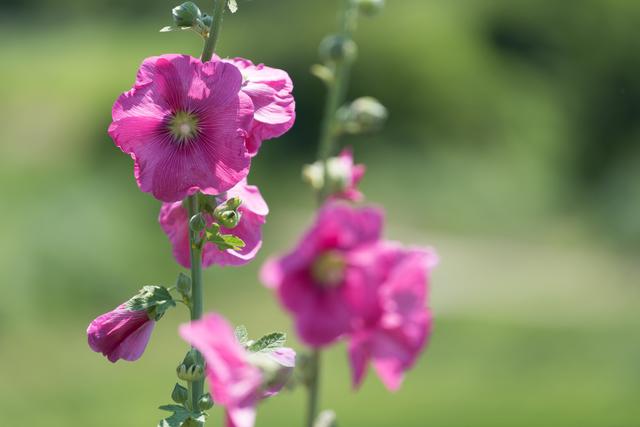 ヨーロッパ原産のアオイ科植物のビロウドイオイの根より抽出したエキスです。抗炎症作用やヒアルロン酸分解酵素を抑制し肌の保湿力を高める働きがあります。
