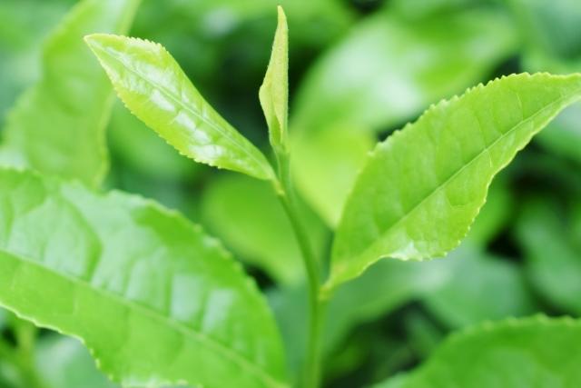 チャ葉から抽出したエキスです。抗菌作用が優れ、タンニンの収れん作用、ビタミン類の抗酸化作用、アミノ酸の保湿作用など付与します。