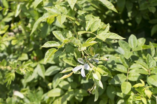 営実エキスはノイバラ果実エキスのことですね。フラボノイドやビタミンなどが含まれています。 独特な香りがあります。 収れん作用や美肌・美白効果を期待。