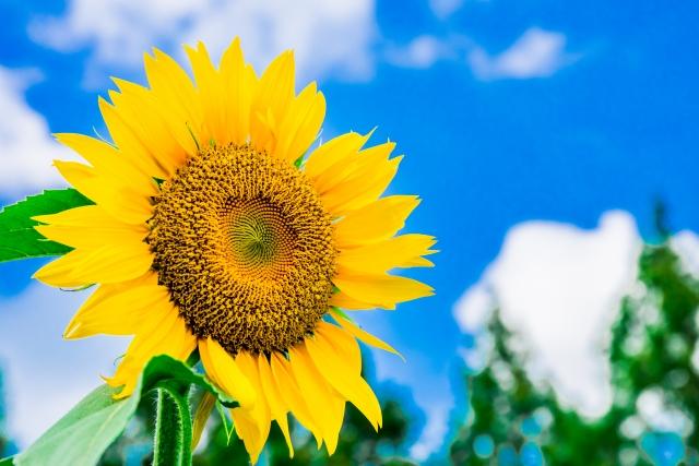 ・ヒマワリ種子エキスはヒマワリ種子より抽出したセラミド、糖質、リン脂質の働きで肌の保湿機能改善、キューティクル接着強化といった働き。