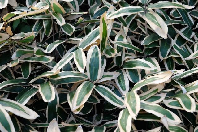 イネ科ササ属のクマザサの葉から得られるエキスです。多糖類のバンフォリンや各種ビタミン類などを豊富に含み、アクネ菌の抑制にも効果あり。防腐作用があり、笹団子、笹寿しなど食品の防腐剤代わりにも古くから使われています。