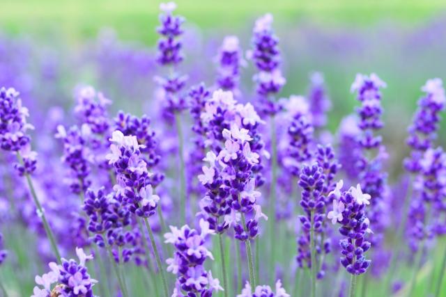 シソ科ラベンダーの葉茎から得られるオイルです。鎮痛・リラックス効果・抗炎症・抗菌作用などを付与します。ただし、酸化により接触アレルギーを起こす可能性もある。