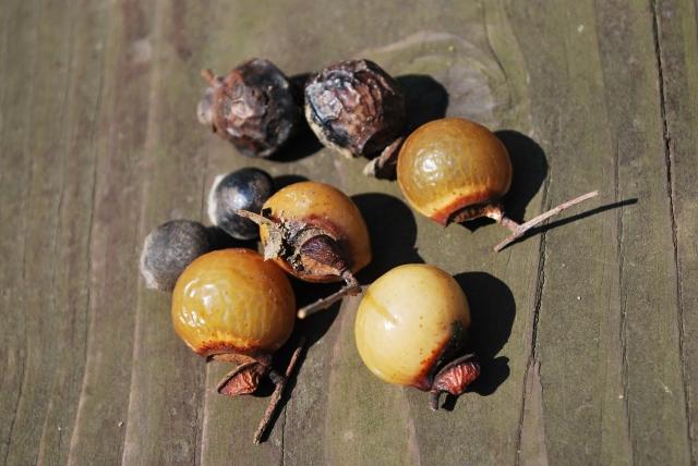 無患子と書きます。ムクロジの果皮にはサポニンが含まれ、清浄作用や抗菌作用を付与する天然の洗浄剤のような作用があります。