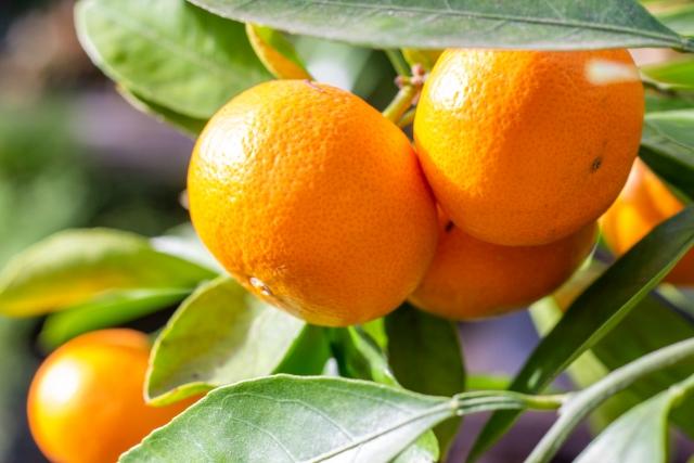 オレンジの果皮から得たオイルで、ビタミンA,B,C,Eやフラボノイドなどを含有し、美白作用、殺菌作用、整肌作用などを付与する。また、脱脂力も有するのでクレンジングの助剤として使われることも。原液でなければさほど心配いらないが、光毒性を僅かに持つためにその点は注意が必要。