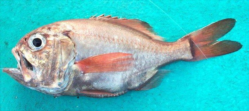 ・オレンジラフィー油配合。深海魚オレンジラフィーから抽出した高い安全性のワックスエステルで、べたつかず、さっぱりした感触。軽度アトピー性皮膚炎、乾燥敏感肌、毛髪表面潤滑作用を付与します。