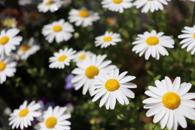 キク科カミツレモドキ科植物の花から得たエキス。抗菌・消炎・血行促進作用などを付与。