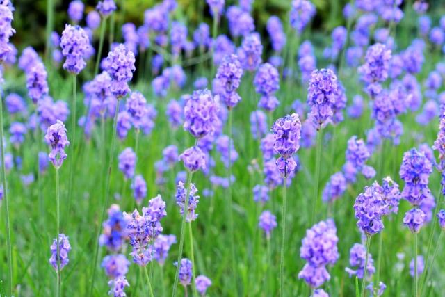 1,8-シオネール含有のシソ科植物エキスです。血行促進や、芳香による頭脳のリフレッシュ効果などが期待されます。