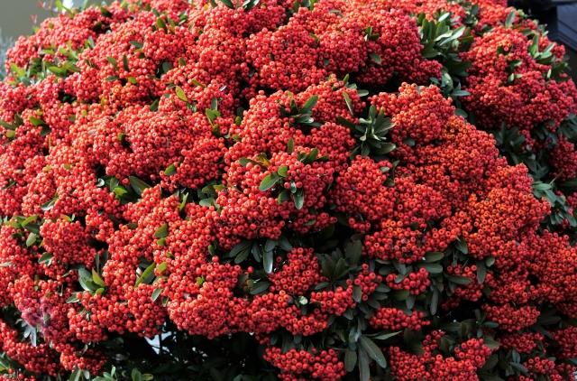 ・サンザシエキスはバラ科サンザシの花、葉、実抽出エキス。フラボノイド、ビタミンCを多く含有し、保湿、美白、収れん作用を与えます。