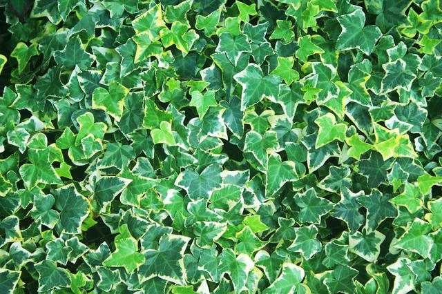 セイヨウキズタ葉/茎エキス ハーブガーデン さくらの森シャンプー