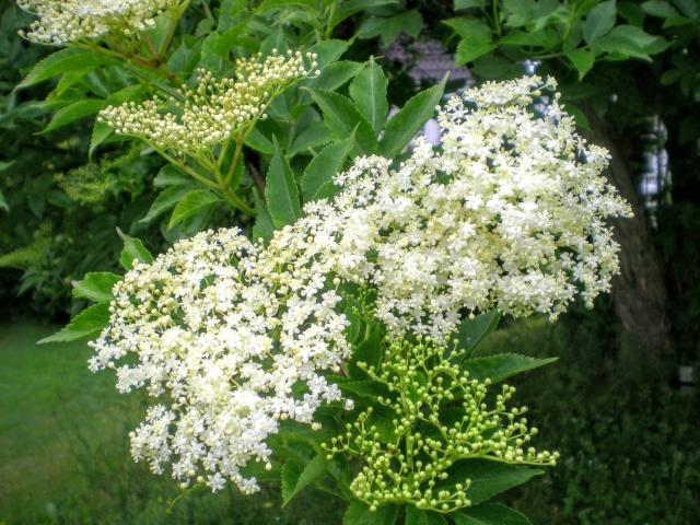 スイカズラ科植物でフラボノイド含有のエキス。優れた抗酸化作用を付与。