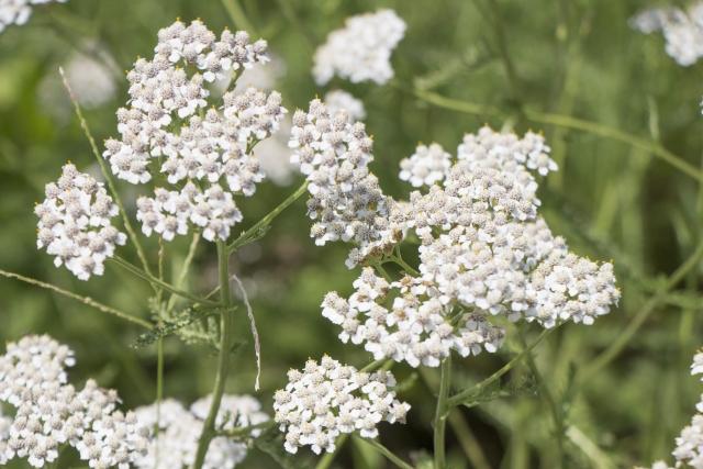 セイヨウノコギリソウは全草が薬用部分で、その精油はアズレンを含み消炎作用があります。また、収れん作用、老化の原因である活性酸素を抑える抗酸化作用や殺菌、抗男性ホルモン作用を付与。