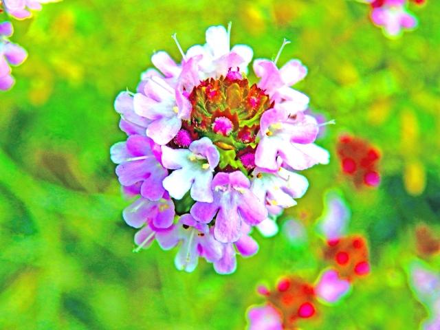 シソ科植物でタイムというハーブの名称の方が知られているかもしれません。防腐・殺菌作用をはじめ、血行促進、抗酸化作用を付与します。