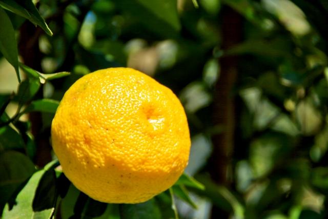さわやかな芳香が特徴の柚子果実から得たエキスです。ゆず湯やお吸い物、ポン酢にも使われる素材ですが、化粧品ではホワイトニング作用、血行促進作用、温熱、創傷治癒などの効能があります。